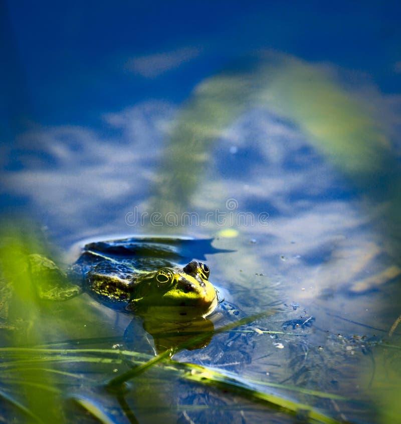 Rana nel lago immagine stock libera da diritti