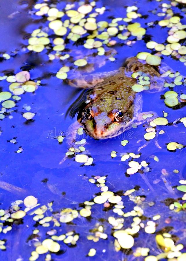 Rana nel lago, fotografo di sorveglianza immagine stock