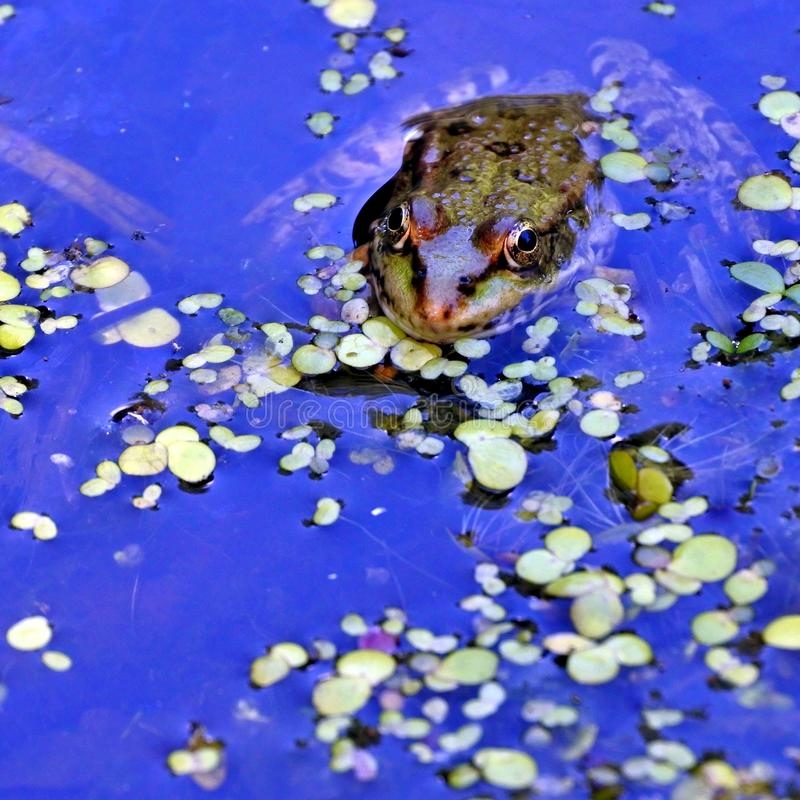 Rana nel lago, fotografo di sorveglianza fotografie stock