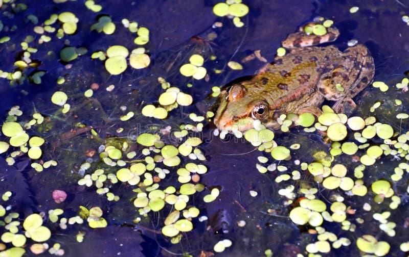 Rana nel lago, fotografo di sorveglianza immagini stock libere da diritti