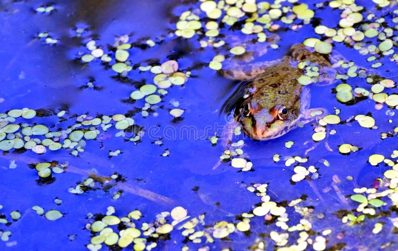 Rana nel lago, fotografo di sorveglianza immagini stock