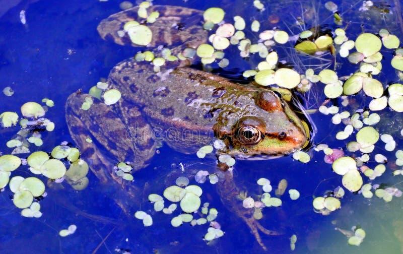 Rana nel lago, fotografo di sorveglianza fotografia stock libera da diritti