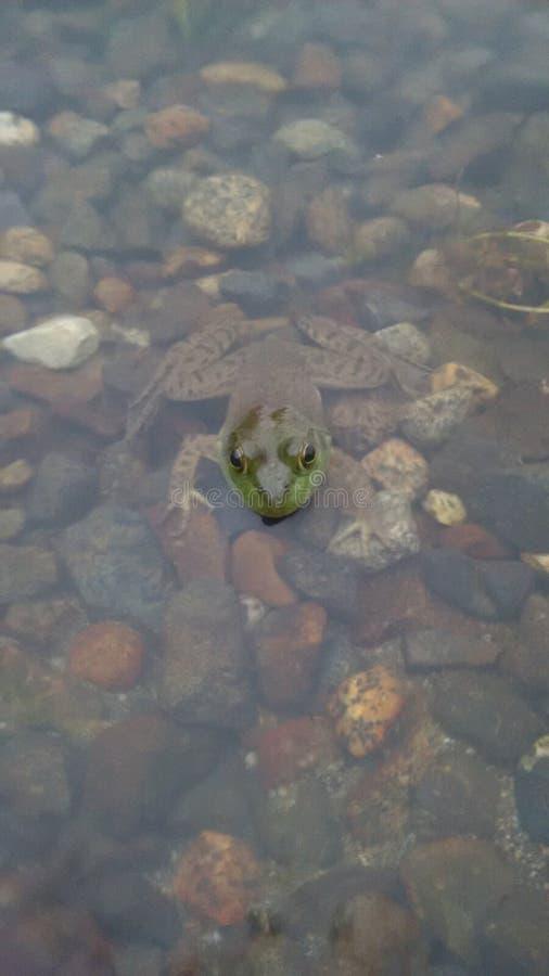 Rana nell'acqua fotografie stock