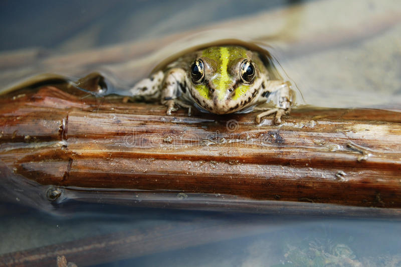 Rana nell'ambiente naturale fotografie stock libere da diritti