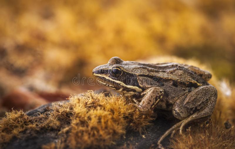 Rana pipiens - Northern Leopard Frog. A northern leopard frog sitting on a mossy rock is displayed in this image royalty free stock photos