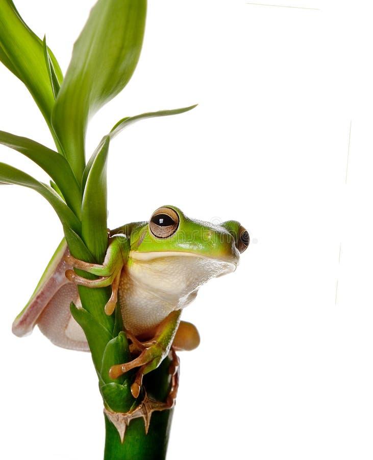 Rana sulla filiale di bambù immagini stock