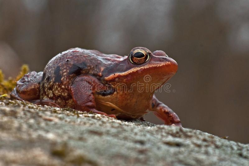 Rana temporaria, common frog . deep red variant. Rana temporaria, common frog deep red variant full of spawn sitting on a rock in spring at Sweden royalty free stock images