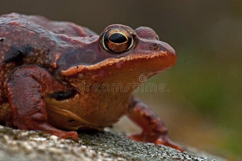 Rana temporaria, common frog . deep red variant royalty free stock photography