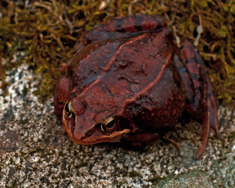 Rana temporaria, common frog . deep red variant. Rana temporaria, common frog deep red variant full of spawn sitting on a rock in spring at Sweden stock photo