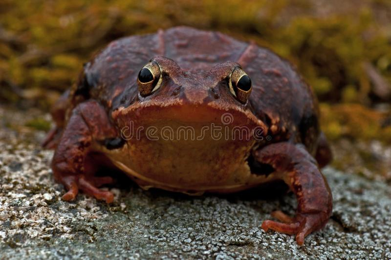 Rana temporaria, common frog . deep red variant. Rana temporaria, common frog deep red variant full of spawn sitting on a rock in spring at Sweden royalty free stock photo
