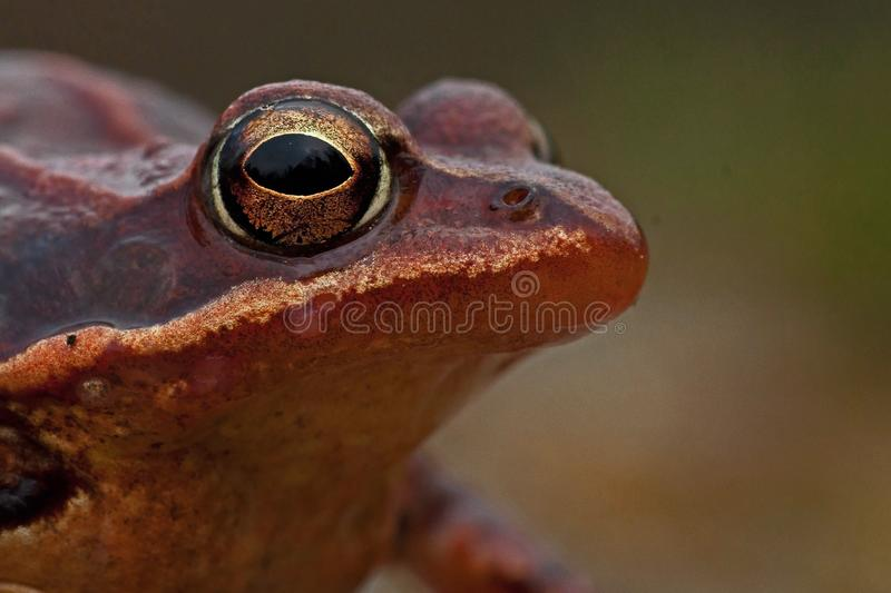 Rana temporaria, common frog . deep red variant stock images