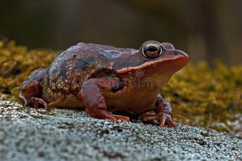 Rana temporaria, common frog . deep red variant. Rana temporaria, common frog deep red variant full of spawn sitting on a rock in spring at Sweden stock image