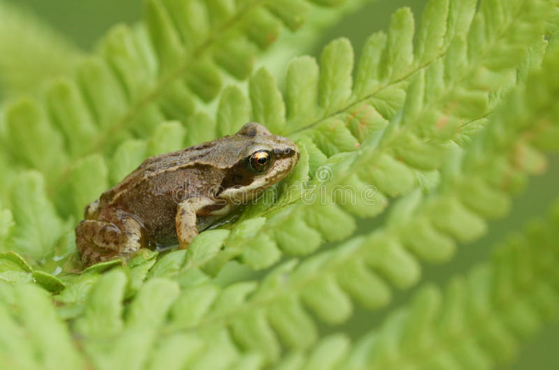 Rana temporaria comune della rana del bambino sveglio che si siede su una foglia della felce fotografia stock libera da diritti