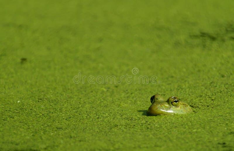 Rana toro & alghe fotografia stock