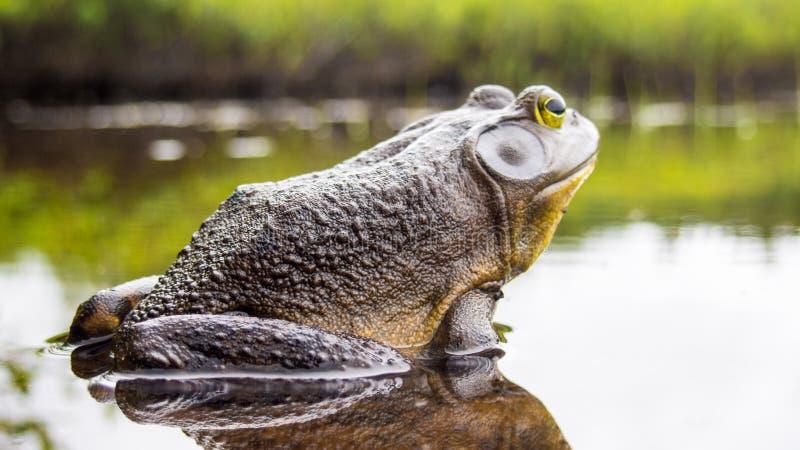 Rana toro che si rilassa sull'orlo di un lago fotografia stock libera da diritti