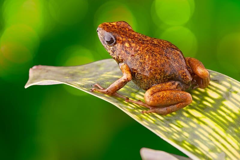 Rana tropical Ecuador del dardo del veneno fotos de archivo