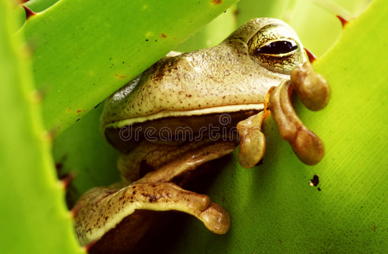 Rana Tropical En Bromeliad Verde Fotografía de archivo