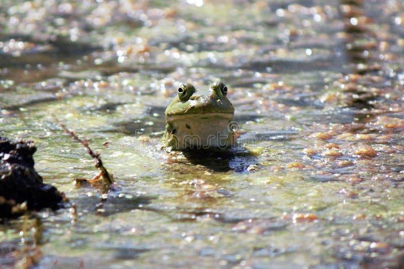 Rana in un lago sporco immagine stock
