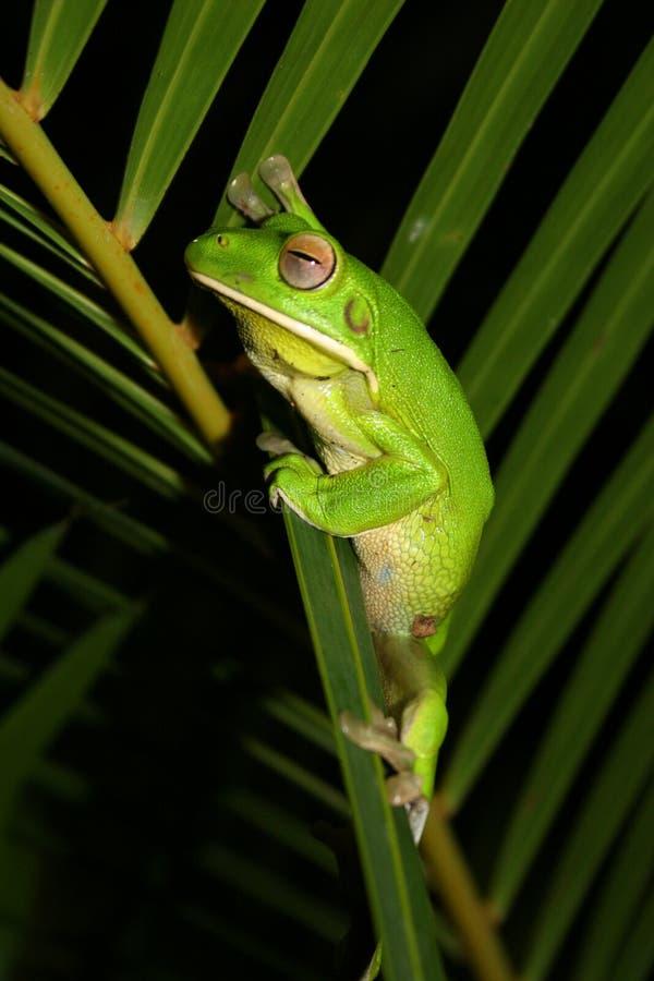 Rana verde fotografie stock