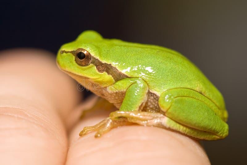 Download Rana verde foto de archivo. Imagen de verde, minúsculo - 7150866