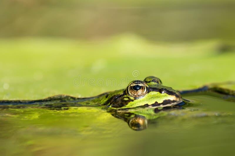 Rana verde in acqua immagine stock libera da diritti
