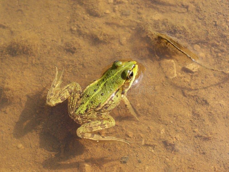 Rana verde in acqua bassa con il fondo fangoso immagine stock libera da diritti
