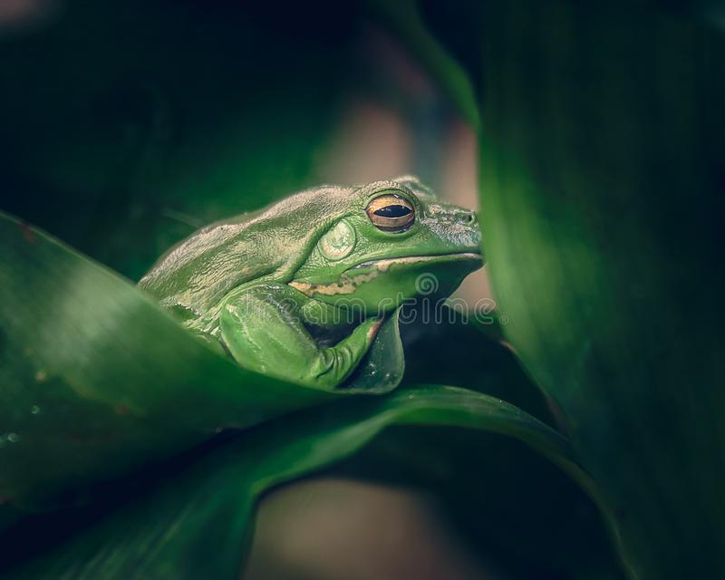 Rana verde che si nasconde dietro le foglie immagini stock
