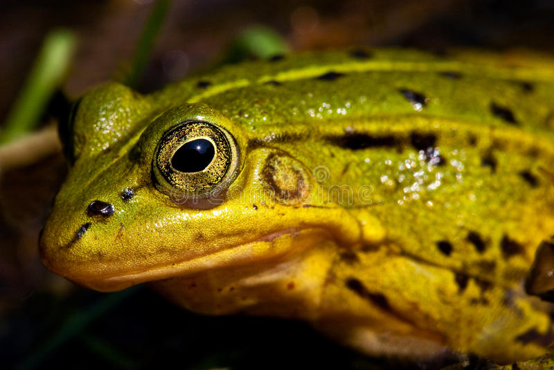 Rana verde che si siede in acque basse fotografie stock