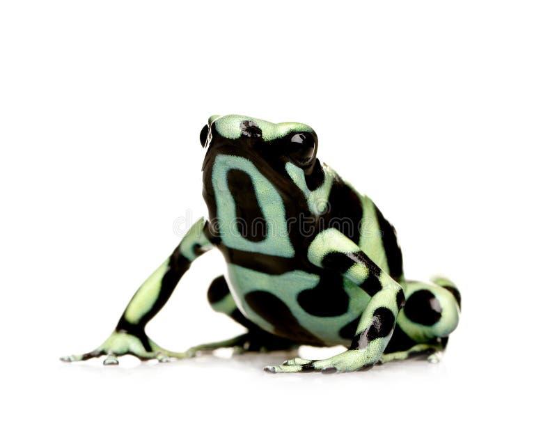 Rana verde e nera del dardo del veleno - aur di Dendrobates fotografie stock