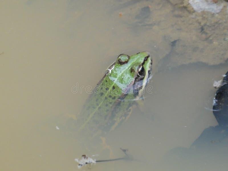 Rana verde en el agua de una charca foto de archivo