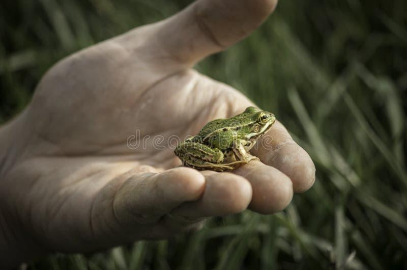 Rana verde en la mano fotos de archivo