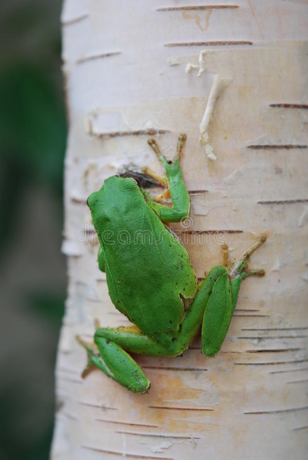 Rana verde en tronco de árbol imágenes de archivo libres de regalías