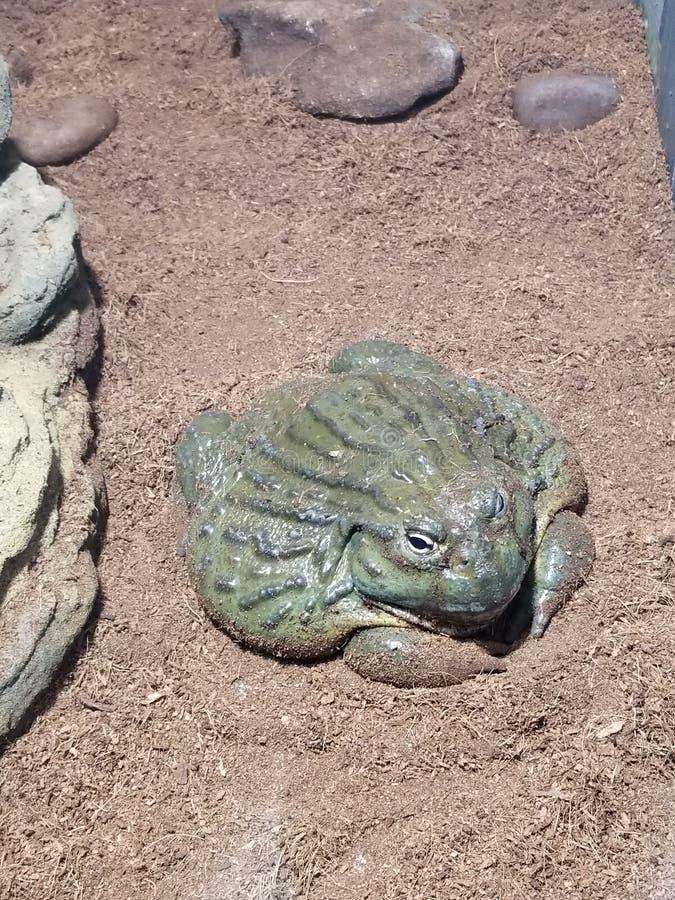 Rana verde gorda grande foto de archivo