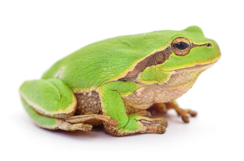Rana verde isollated fotos de archivo