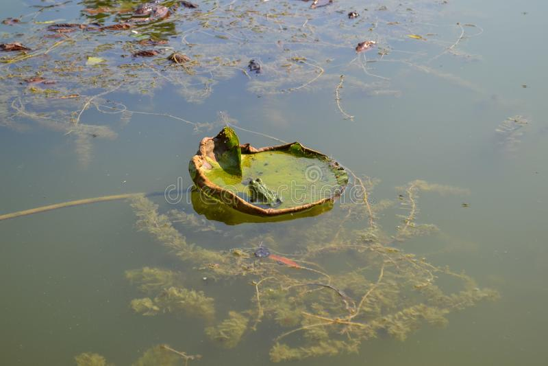 Rana verde nel lago con le foglie verdi fotografia stock libera da diritti
