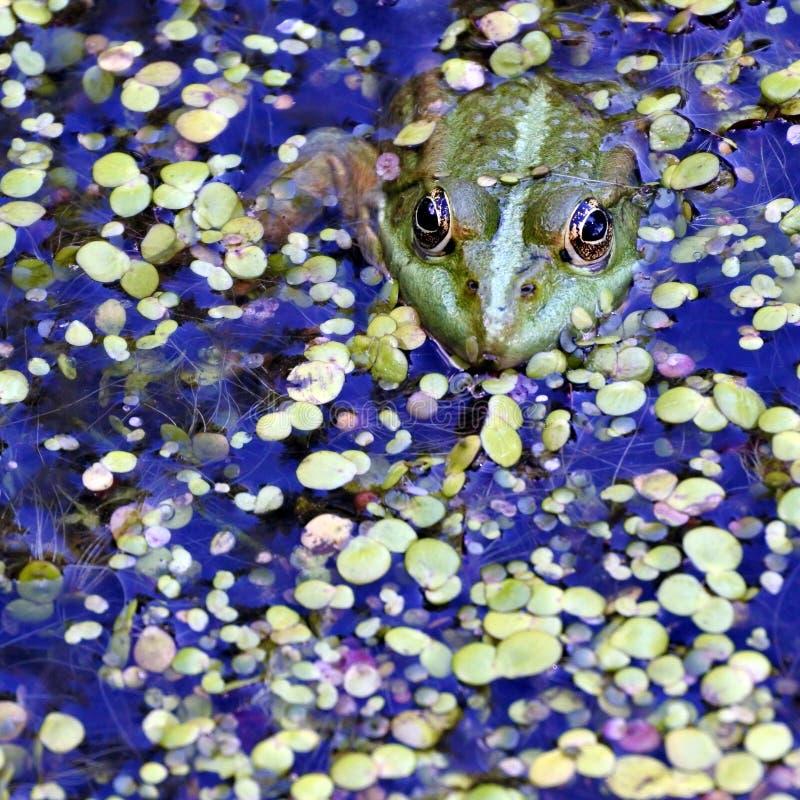 Rana verde nel lago, fotografo di sorveglianza immagini stock
