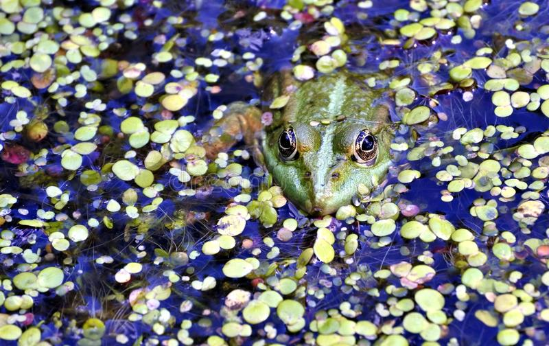 Rana verde nel lago, fotografo di sorveglianza fotografie stock