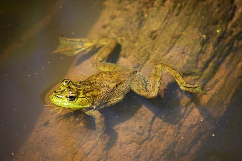 Rana verde nell'acqua immagini stock