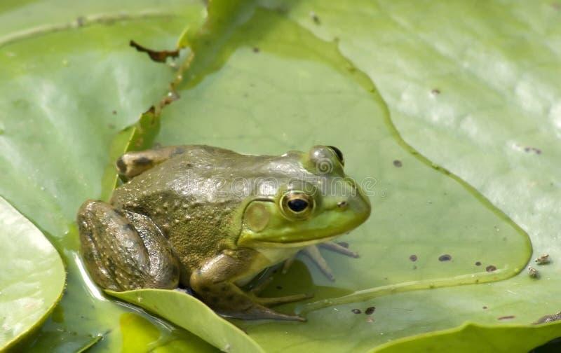 Rana verde notevole immagini stock libere da diritti