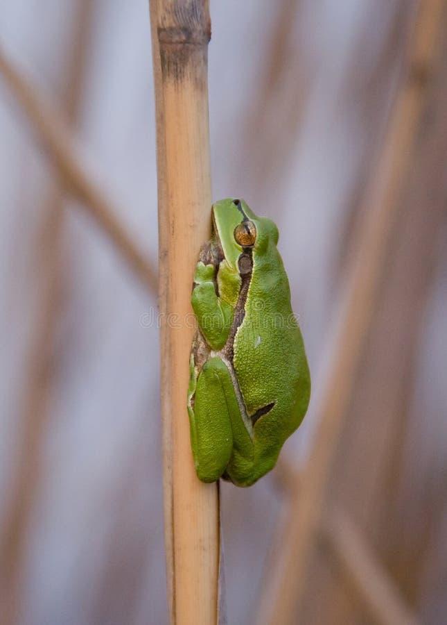Rana verde que duerme en la caña imagenes de archivo