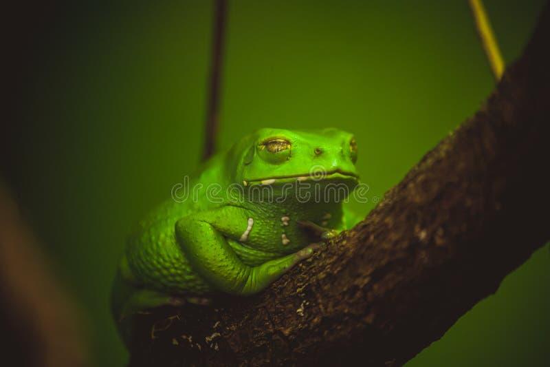 Rana verde que duerme en rama imagen de archivo