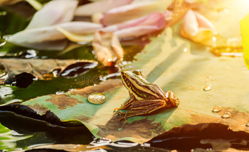 Rana verde que se sienta en la hoja del loto en una charca en la puesta del sol imágenes de archivo libres de regalías