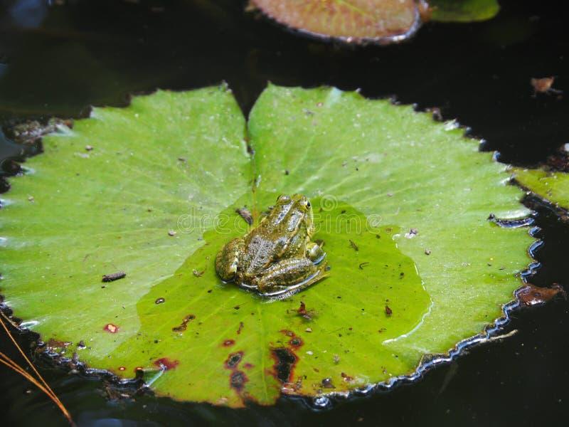 Rana verde su una grande foglia di Lotus immagine stock libera da diritti
