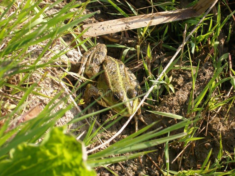 Rana verde sui precedenti dell'erba e di messa a terra summertime fotografia stock libera da diritti