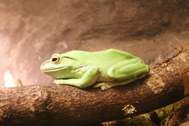 Rana verde tropicale nello zoo di Copenhaghen fotografia stock