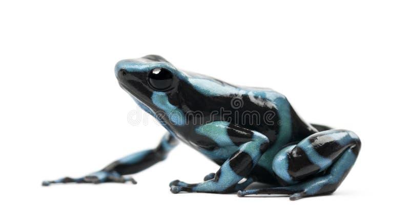 Rana verde y negra del dardo del veneno imagen de archivo libre de regalías