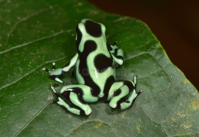 Rana verde y negra del dardo del veneno, Costa Rica imagenes de archivo
