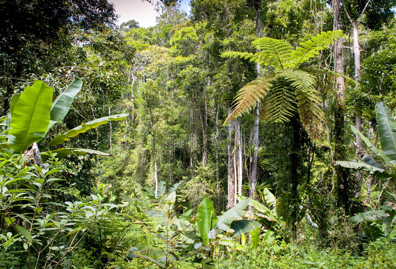 Ranamafanaregenwoud - Madagascar stock afbeelding