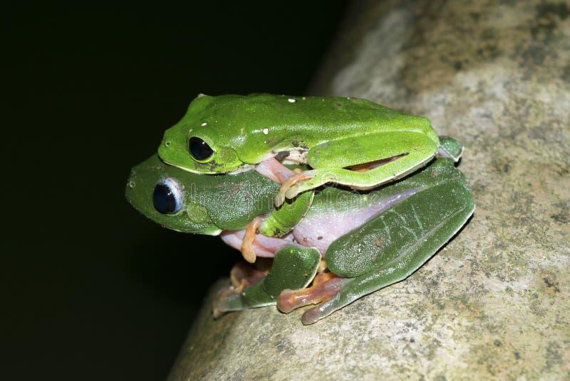 Ranas verdes de acoplamiento fotos de archivo