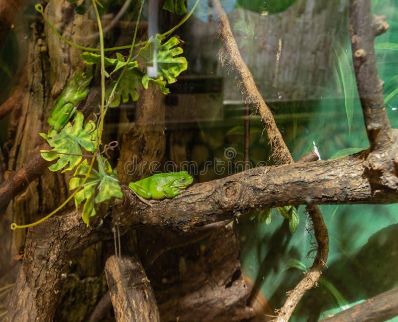 Ranas verdes en un pequeño terrario con la iluminación foto de archivo